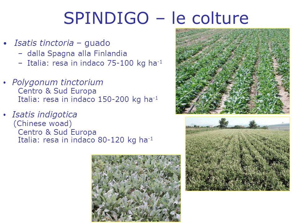 SPINDIGO – le colture Isatis tinctoria – guado Polygonum tinctorium