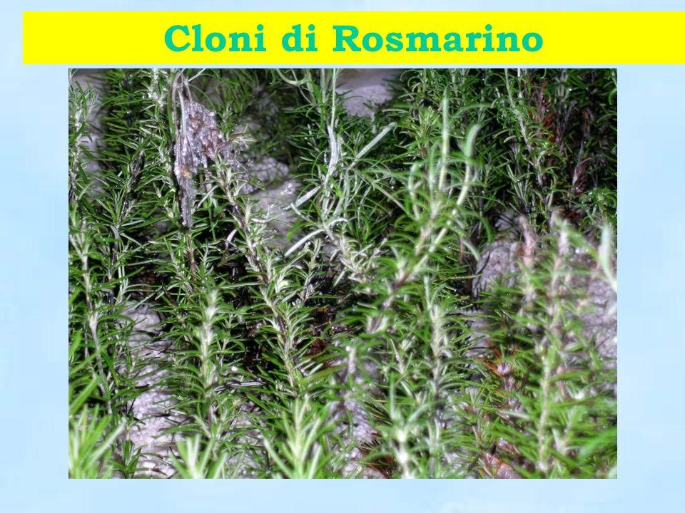 Cloni di Rosmarino