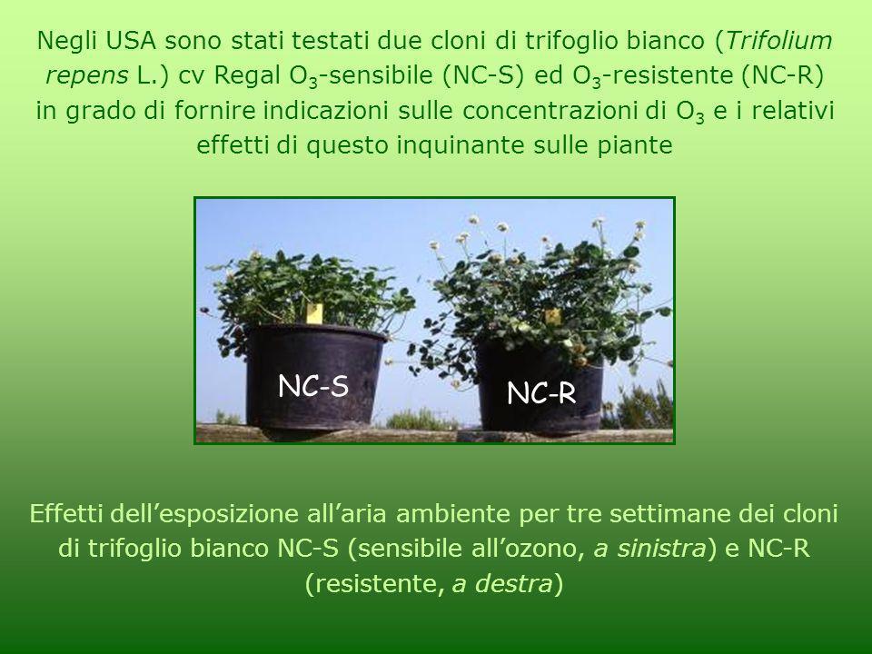 Negli USA sono stati testati due cloni di trifoglio bianco (Trifolium repens L.) cv Regal O3-sensibile (NC-S) ed O3-resistente (NC-R) in grado di fornire indicazioni sulle concentrazioni di O3 e i relativi effetti di questo inquinante sulle piante