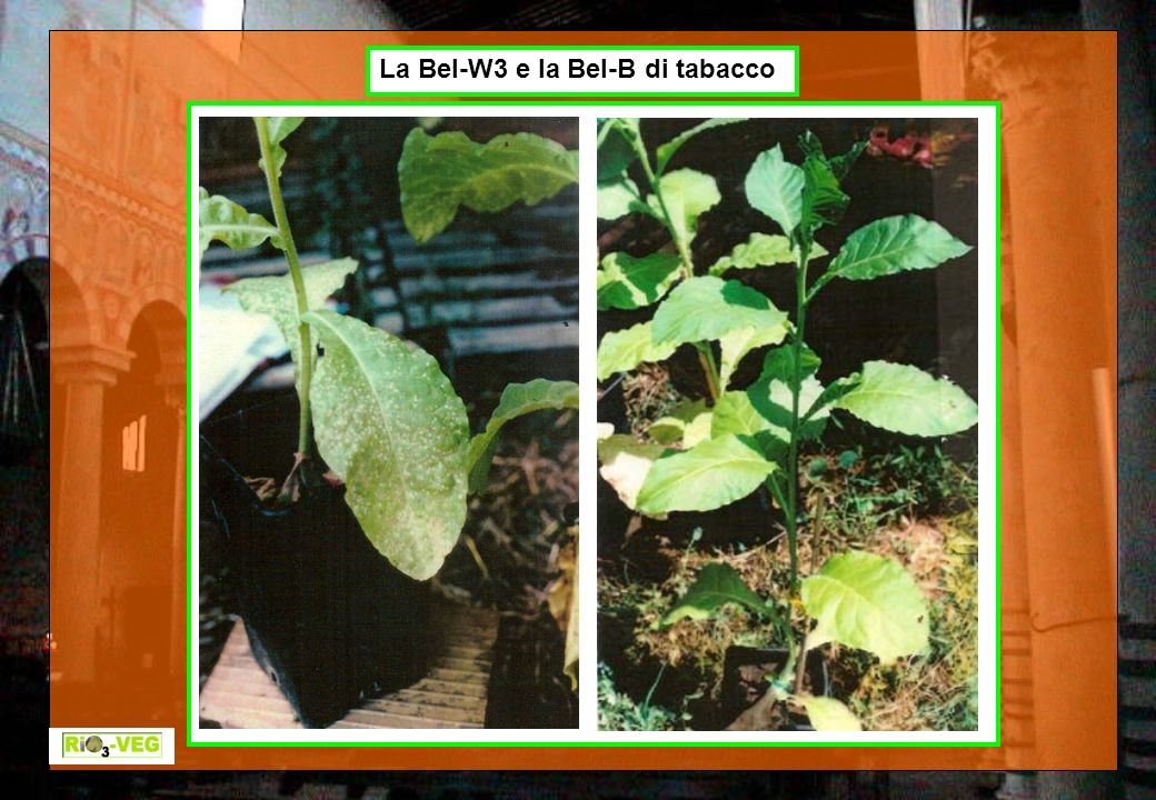 La Bel-W3 e la Bel-B di tabacco