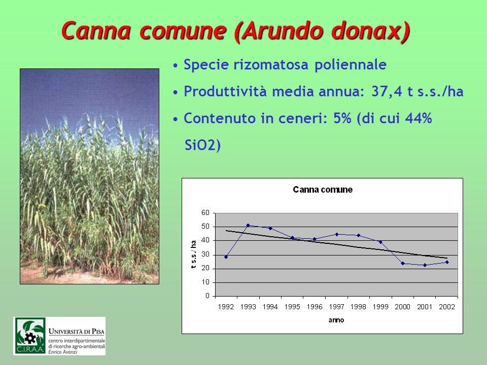 Canna comune (Arundo donax)