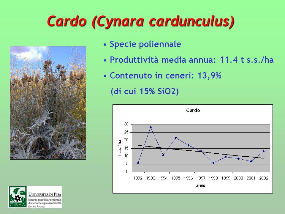 Cardo (Cynara cardunculus)