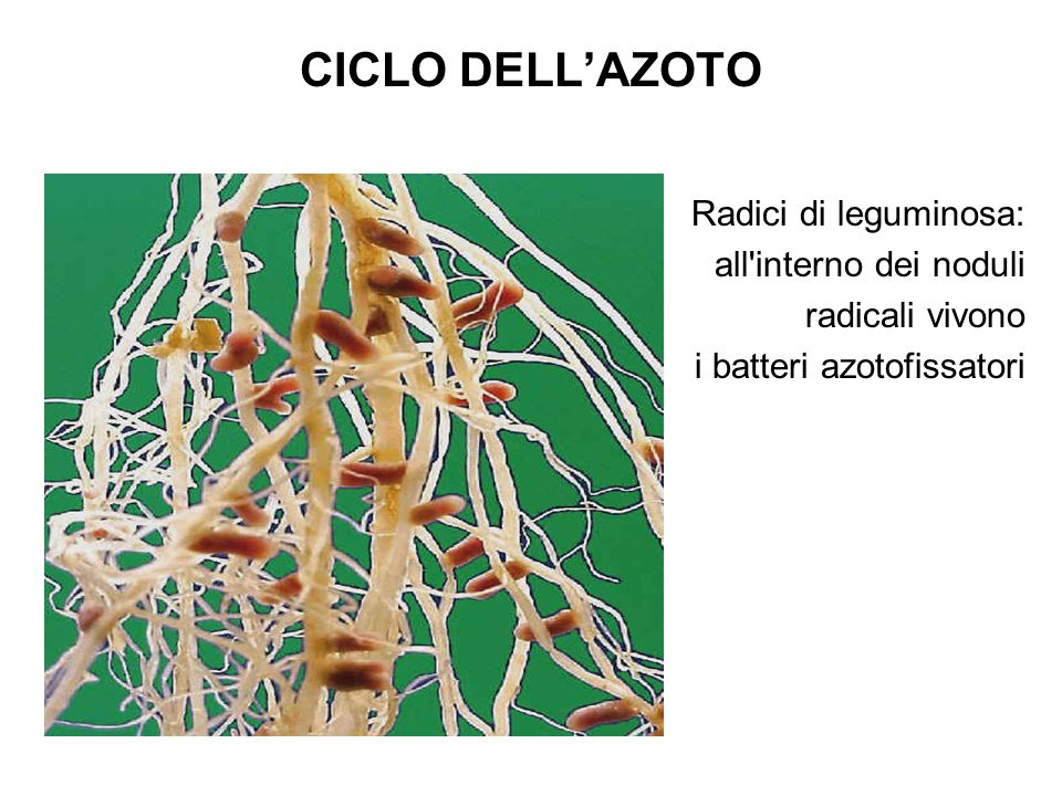 CICLO DELL'AZOTO Radici di leguminosa: all interno dei noduli