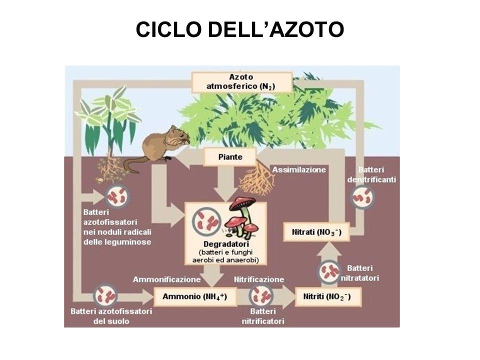 CICLO DELL'AZOTO