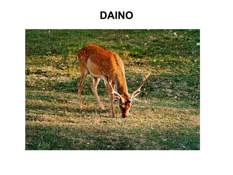 DAINO