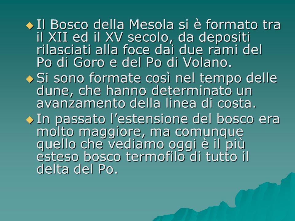 Il Bosco della Mesola si è formato tra il XII ed il XV secolo, da depositi rilasciati alla foce dai due rami del Po di Goro e del Po di Volano.