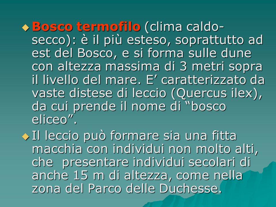 Bosco termofilo (clima caldo-secco): è il più esteso, soprattutto ad est del Bosco, e si forma sulle dune con altezza massima di 3 metri sopra il livello del mare. E' caratterizzato da vaste distese di leccio (Quercus ilex), da cui prende il nome di bosco eliceo .