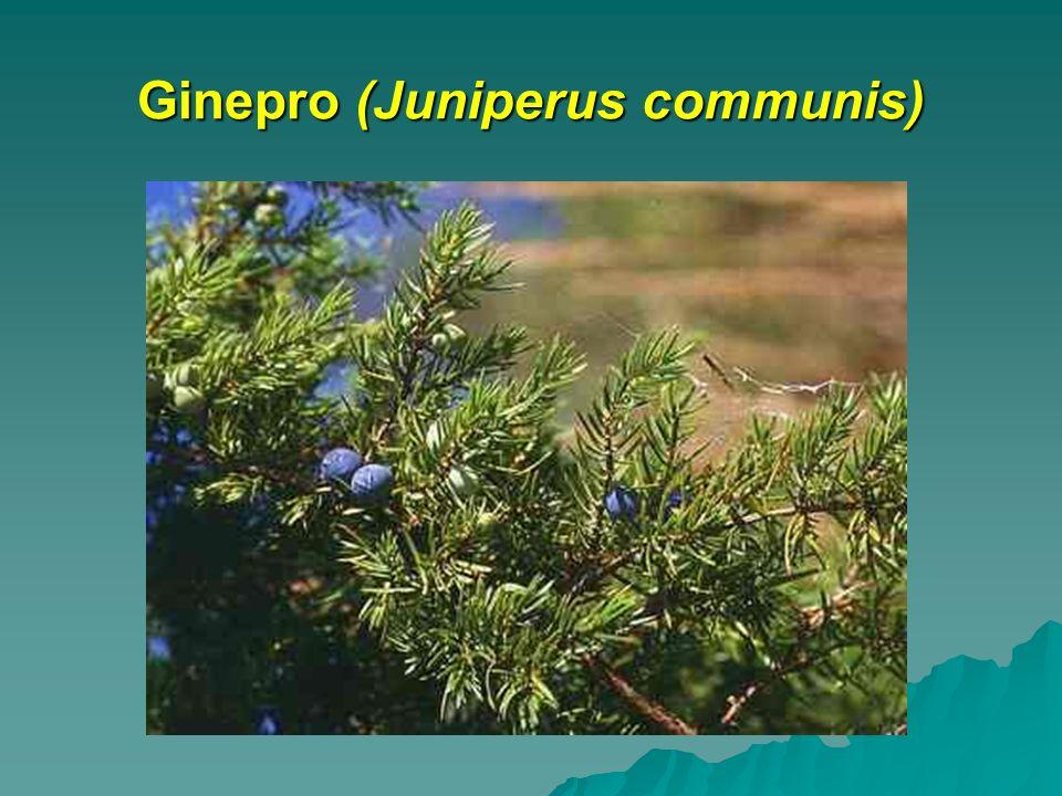 Ginepro (Juniperus communis)