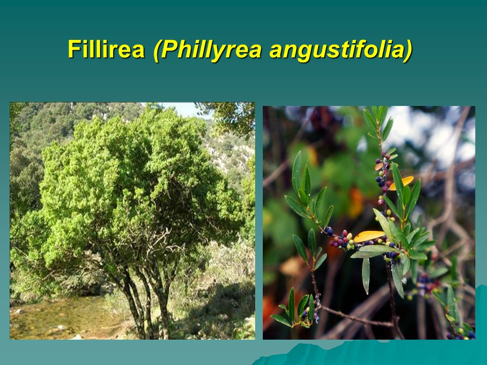Fillirea (Phillyrea angustifolia)