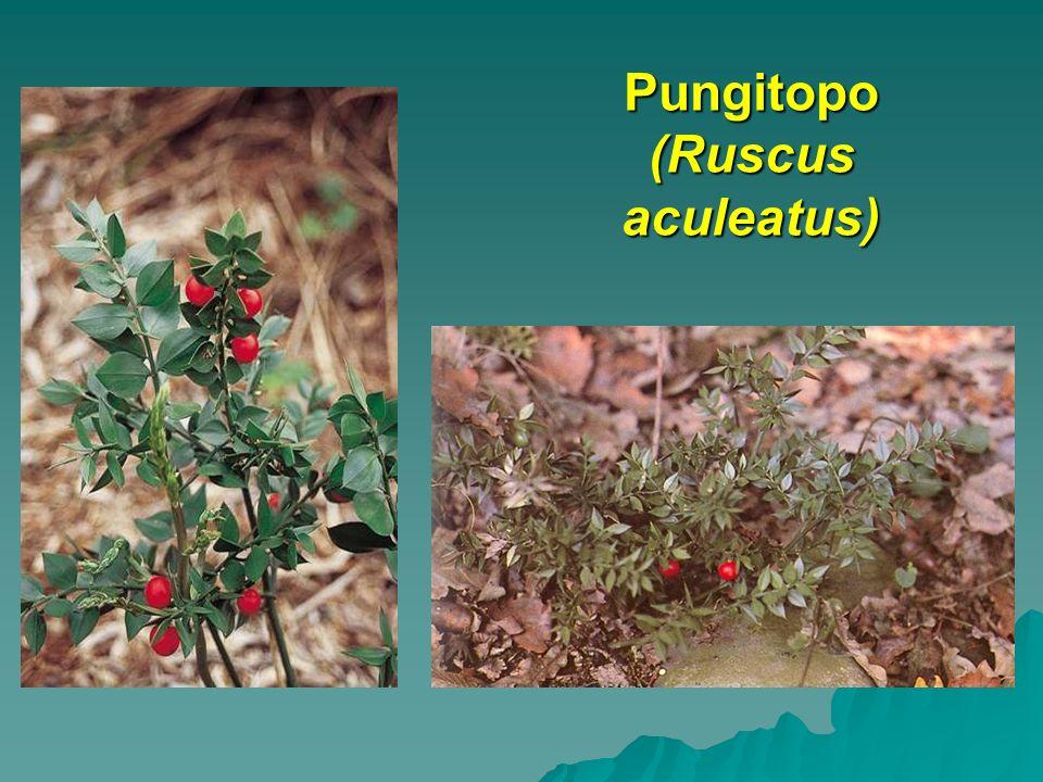 Pungitopo (Ruscus aculeatus)