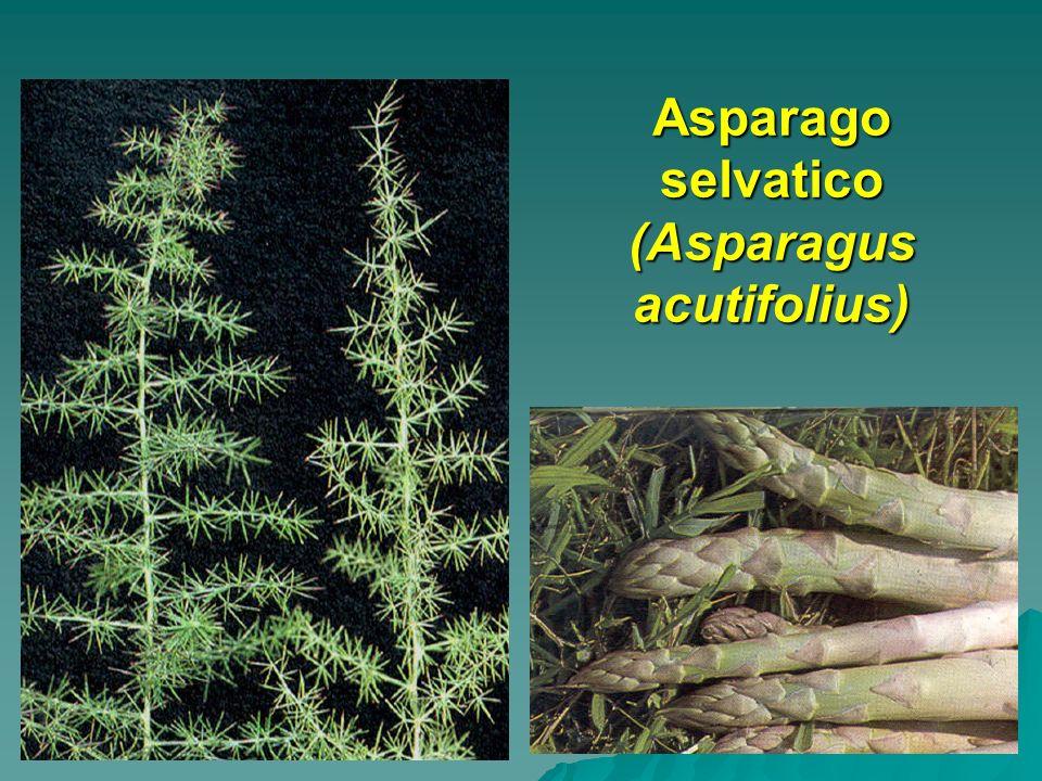 Asparago selvatico (Asparagus acutifolius)