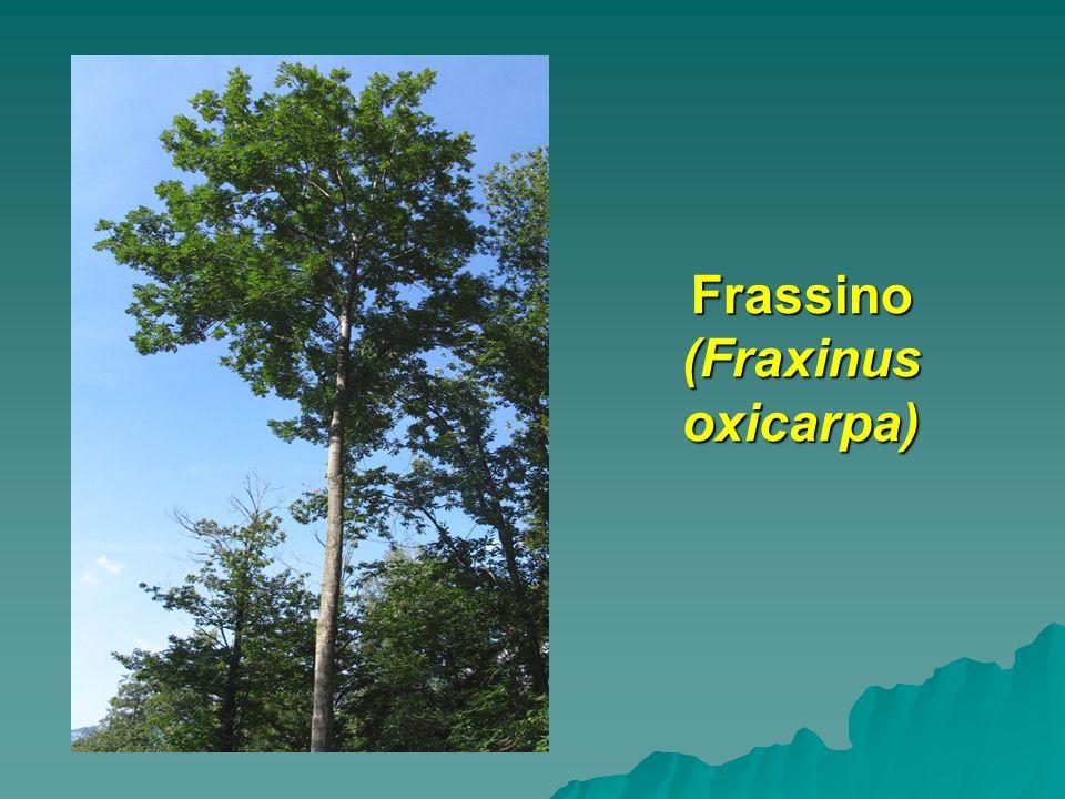 Frassino (Fraxinus oxicarpa)