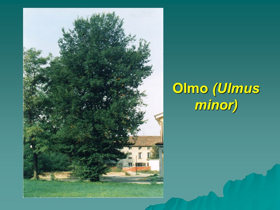 Olmo (Ulmus minor)