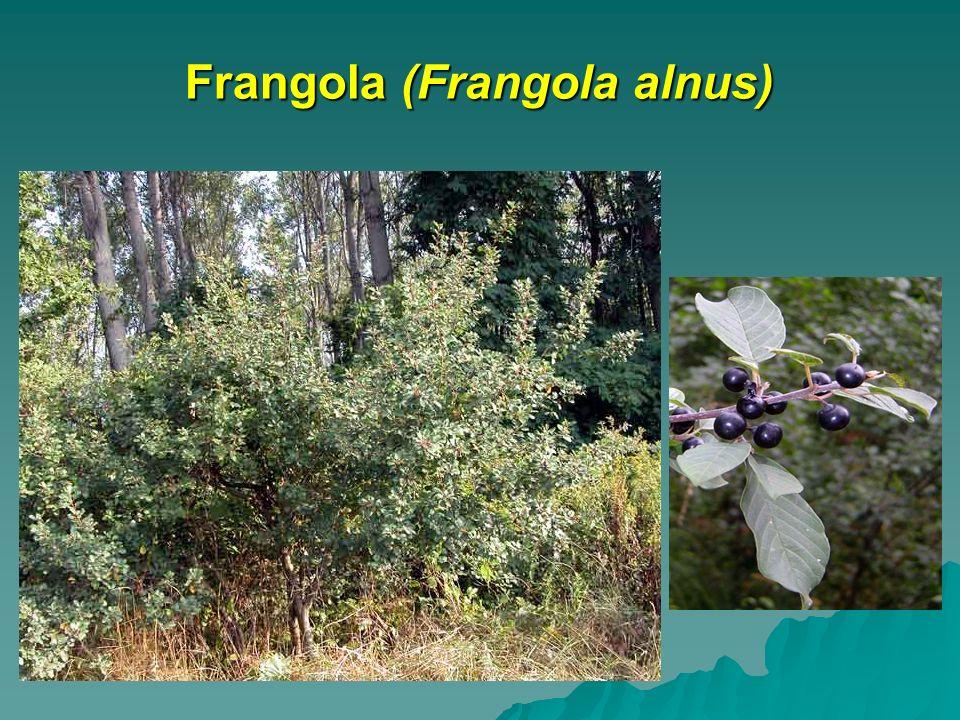 Frangola (Frangola alnus)