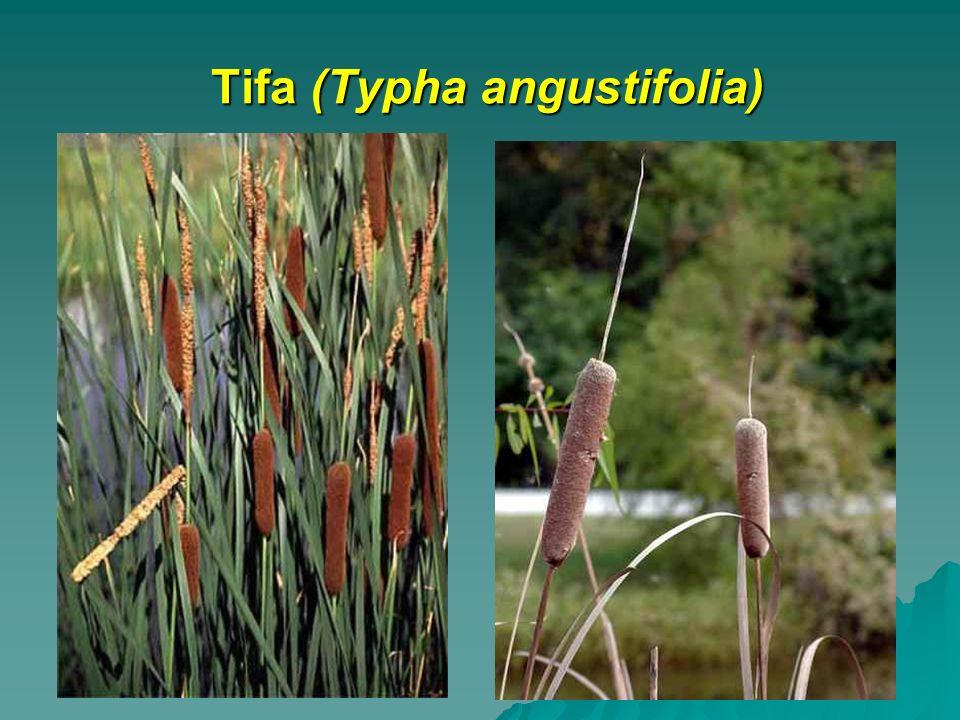 Tifa (Typha angustifolia)