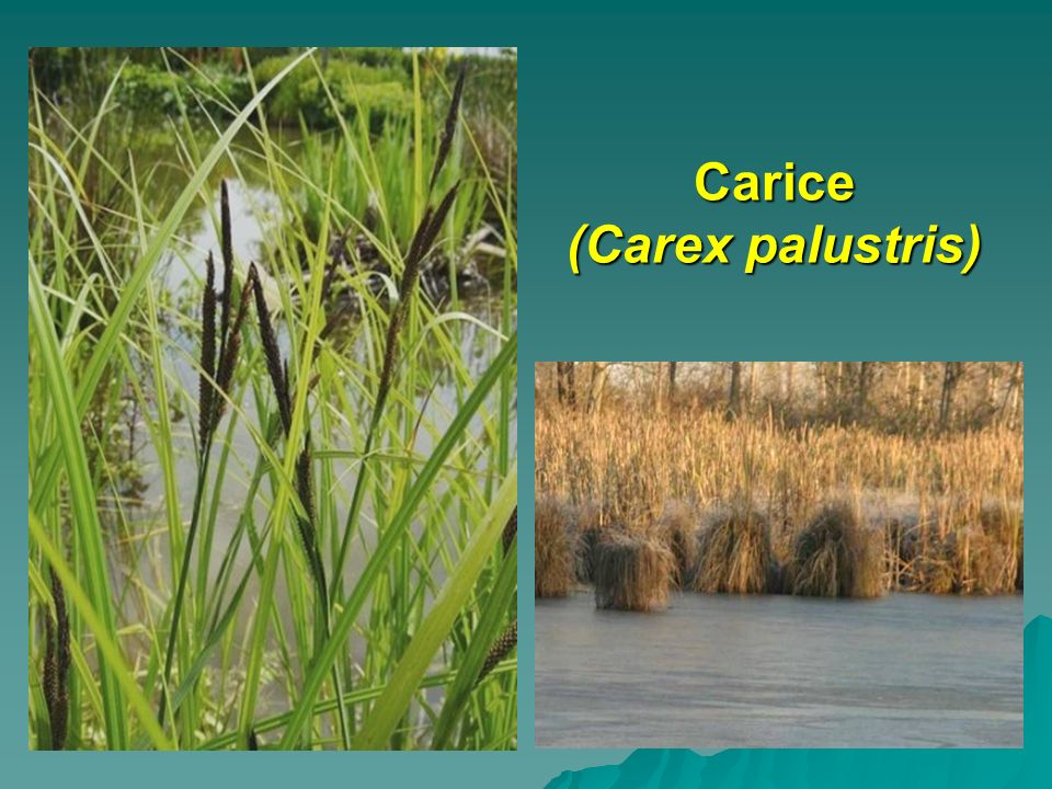 Carice (Carex palustris)