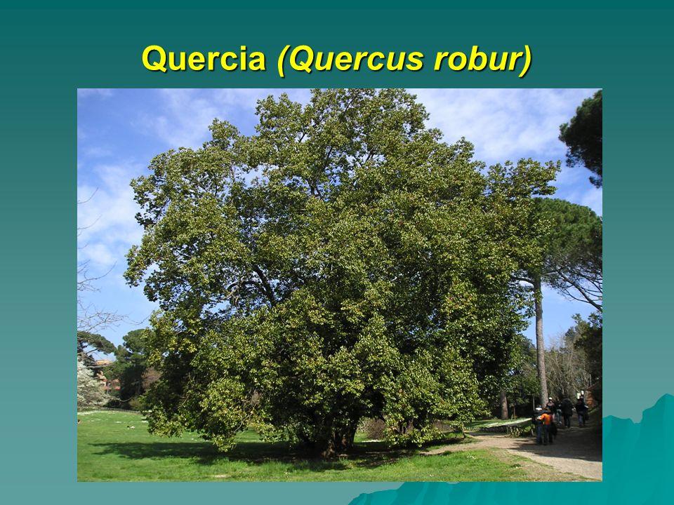Quercia (Quercus robur)