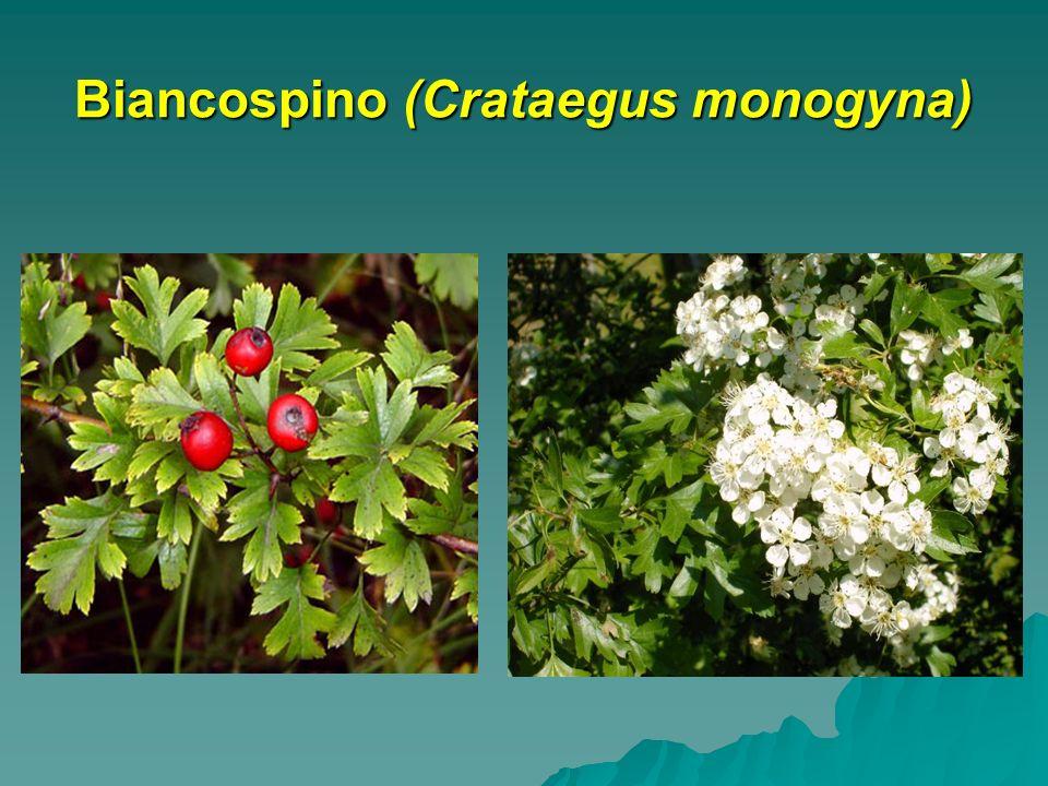 Biancospino (Crataegus monogyna)
