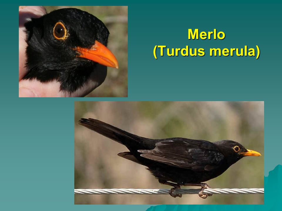 Merlo (Turdus merula)