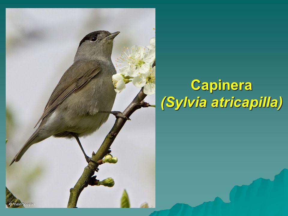 Capinera (Sylvia atricapilla)