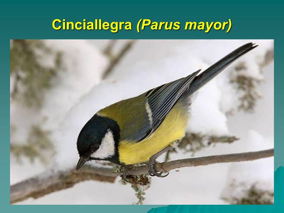 Cinciallegra (Parus mayor)