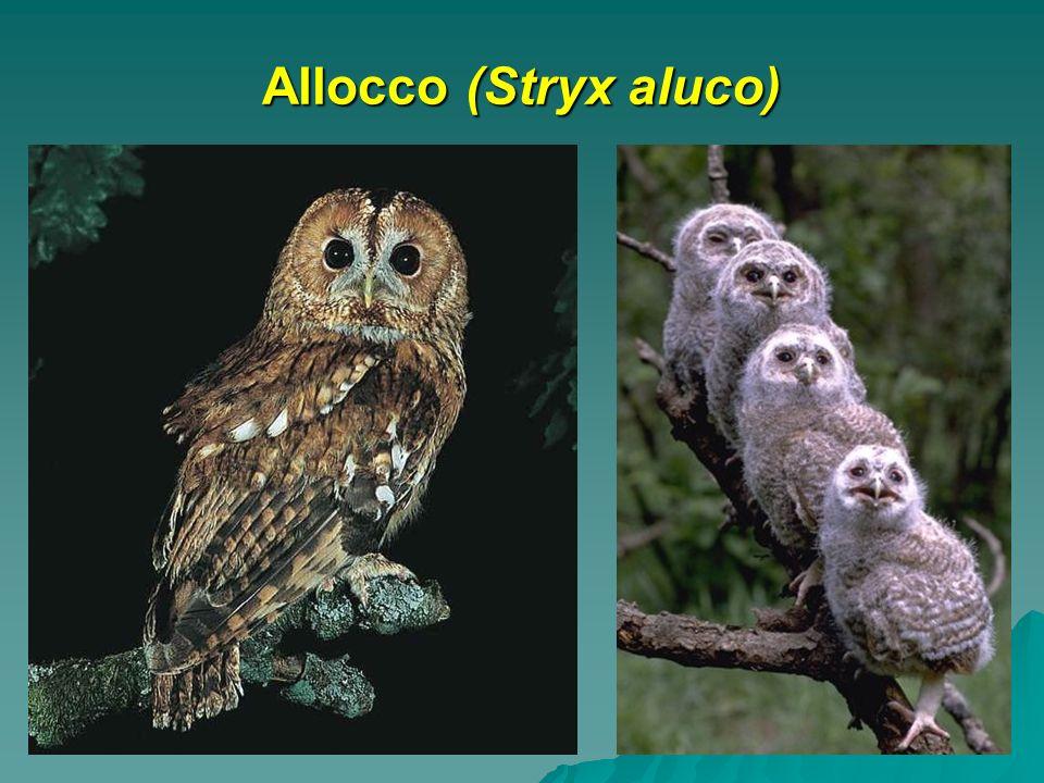 Allocco (Stryx aluco)