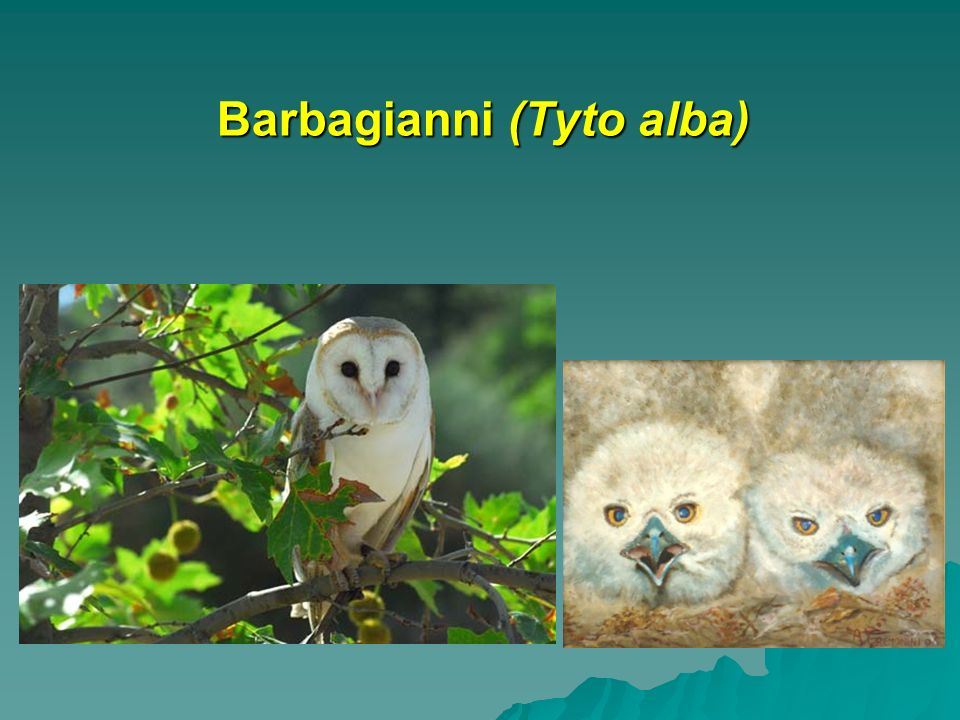 Barbagianni (Tyto alba)
