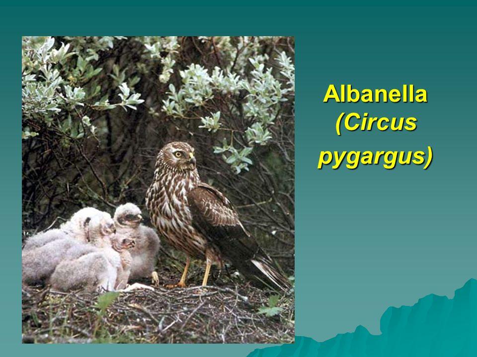 Albanella (Circus pygargus)