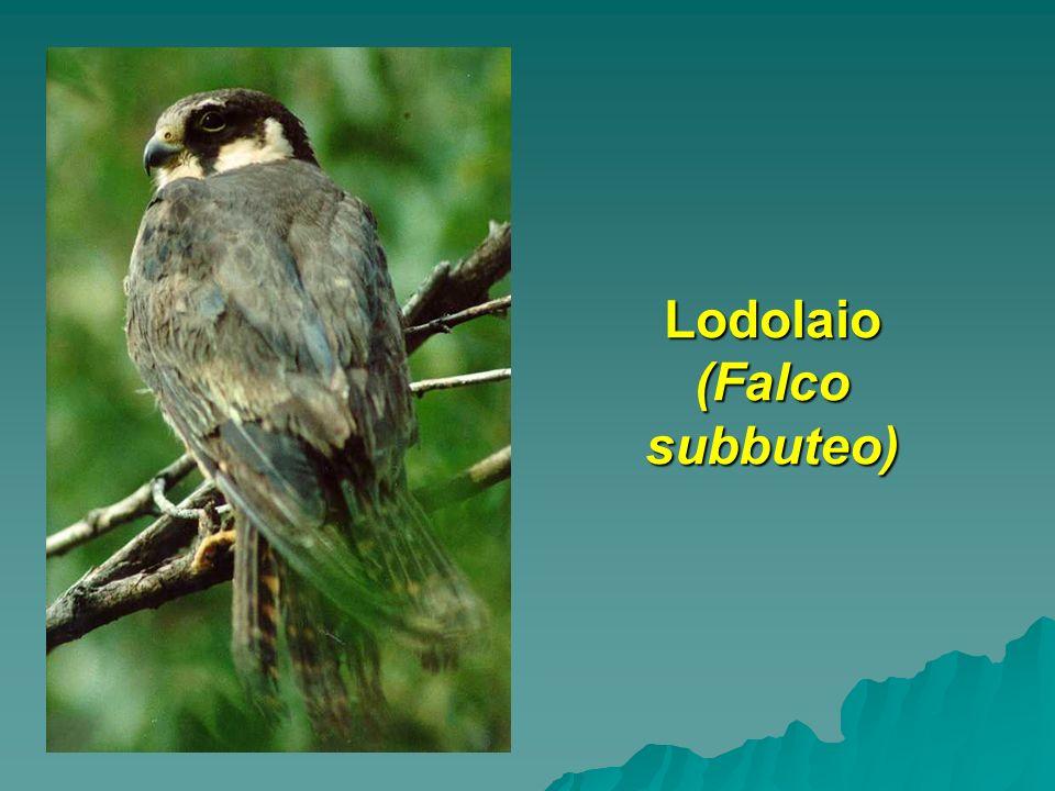 Lodolaio (Falco subbuteo)
