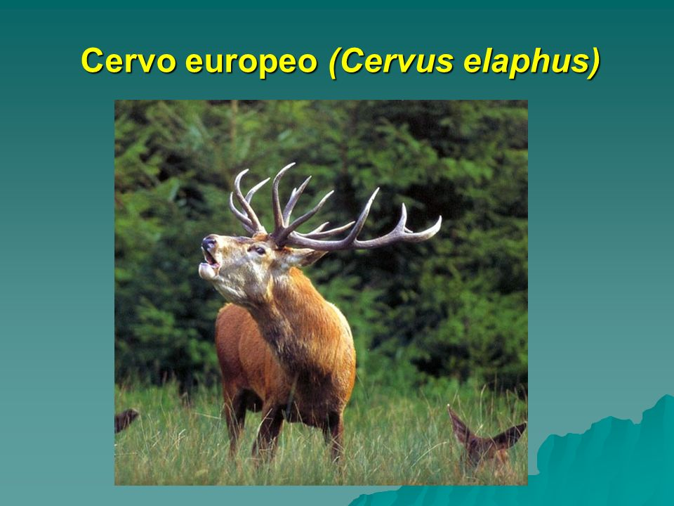 Cervo europeo (Cervus elaphus)