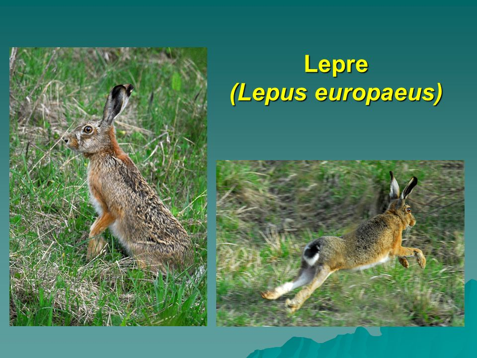 Lepre (Lepus europaeus)