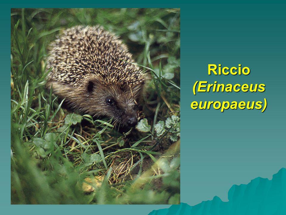 Riccio (Erinaceus europaeus)
