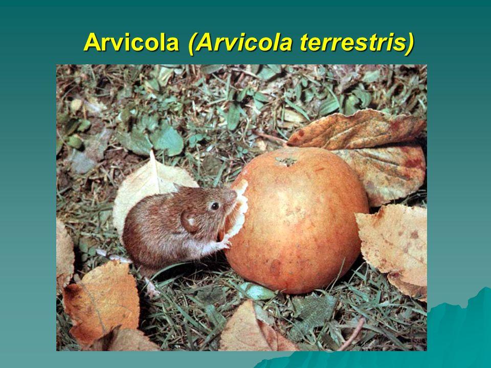 Arvicola (Arvicola terrestris)