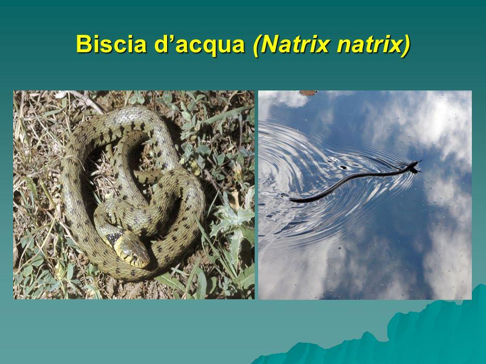 Biscia d'acqua (Natrix natrix)