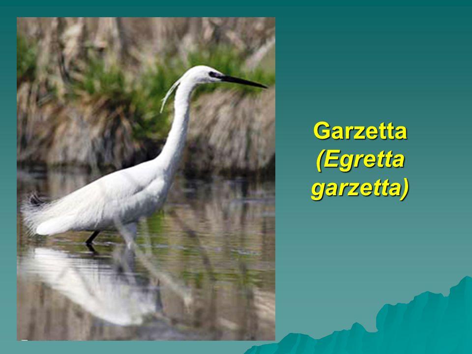 Garzetta (Egretta garzetta)