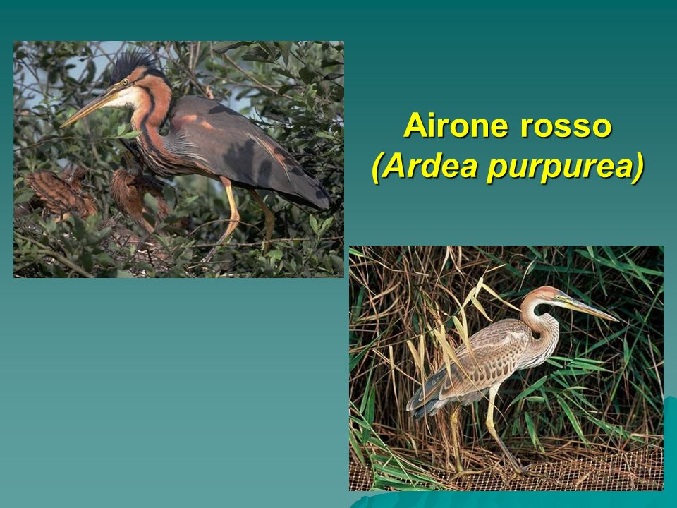 Airone rosso (Ardea purpurea)