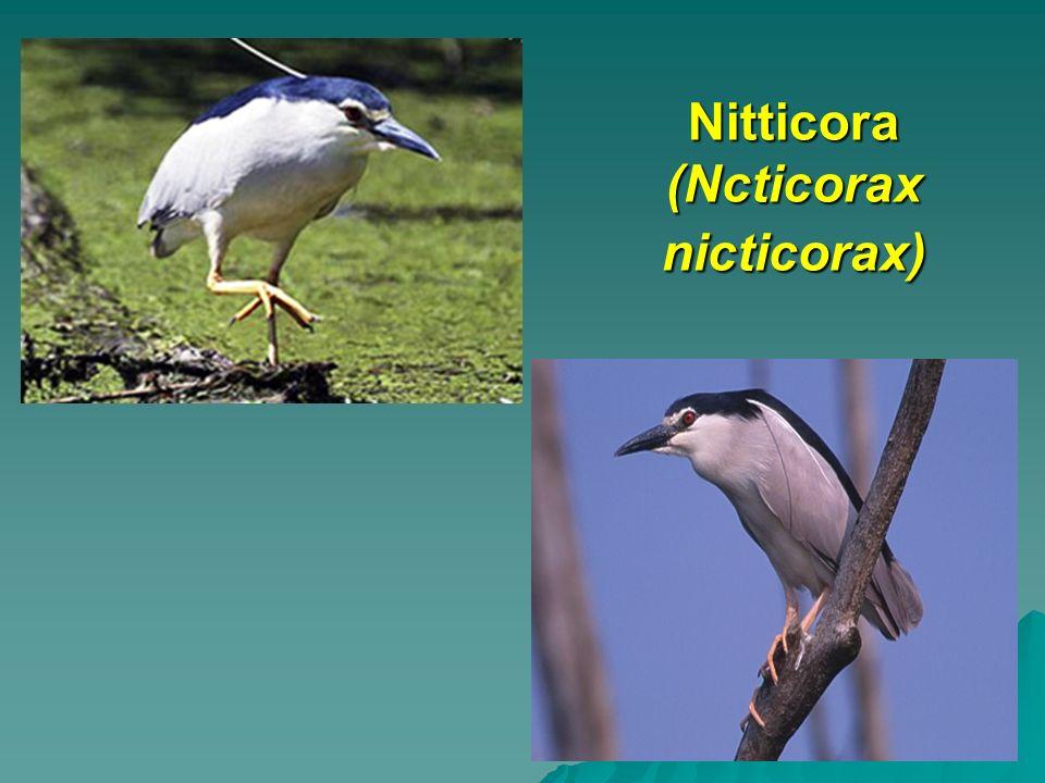 Nitticora (Ncticorax nicticorax)