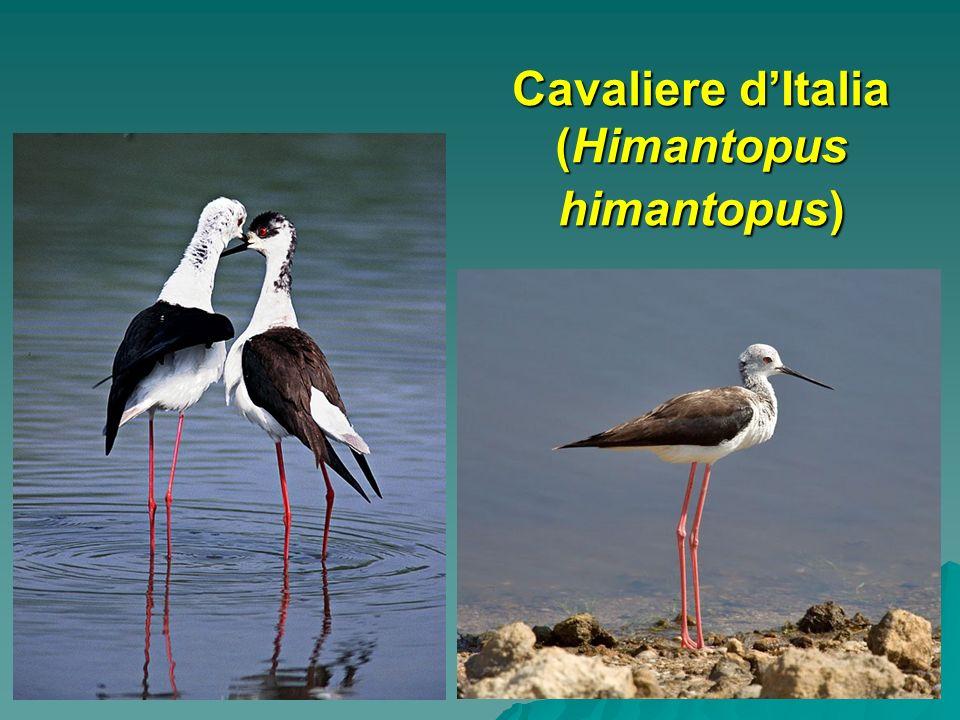 Cavaliere d'Italia (Himantopus himantopus)