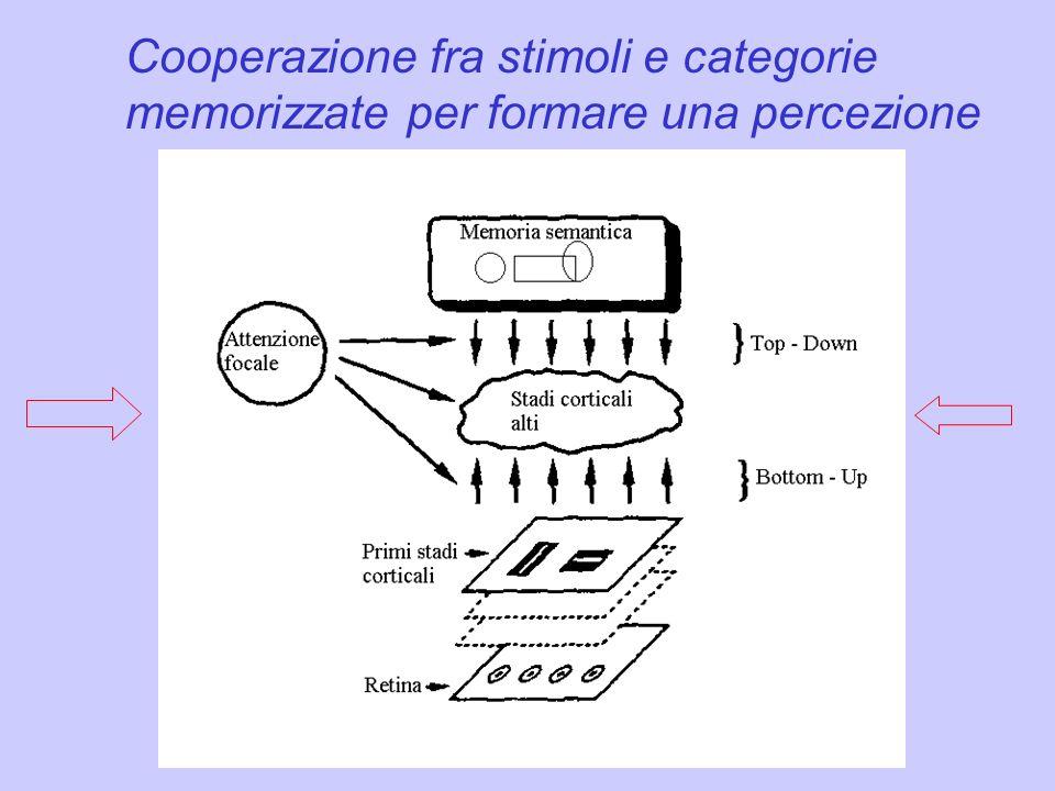 Cooperazione fra stimoli e categorie memorizzate per formare una percezione