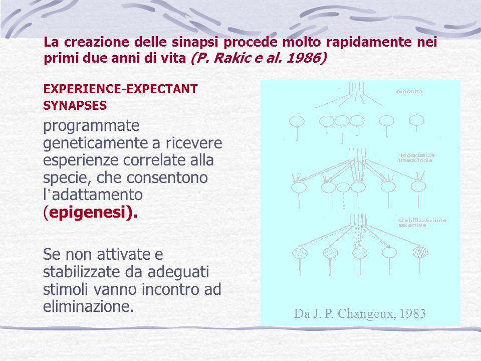 La creazione delle sinapsi procede molto rapidamente nei primi due anni di vita (P. Rakic e al. 1986)