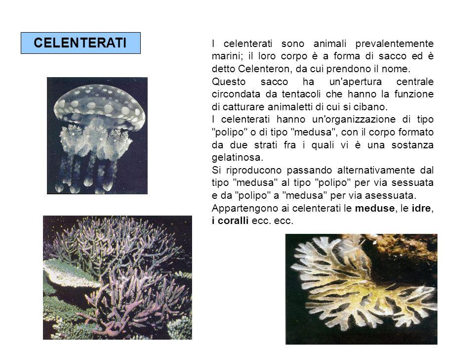 CELENTERATI I celenterati sono animali prevalentemente marini; il loro corpo è a forma di sacco ed è detto Celenteron, da cui prendono il nome.