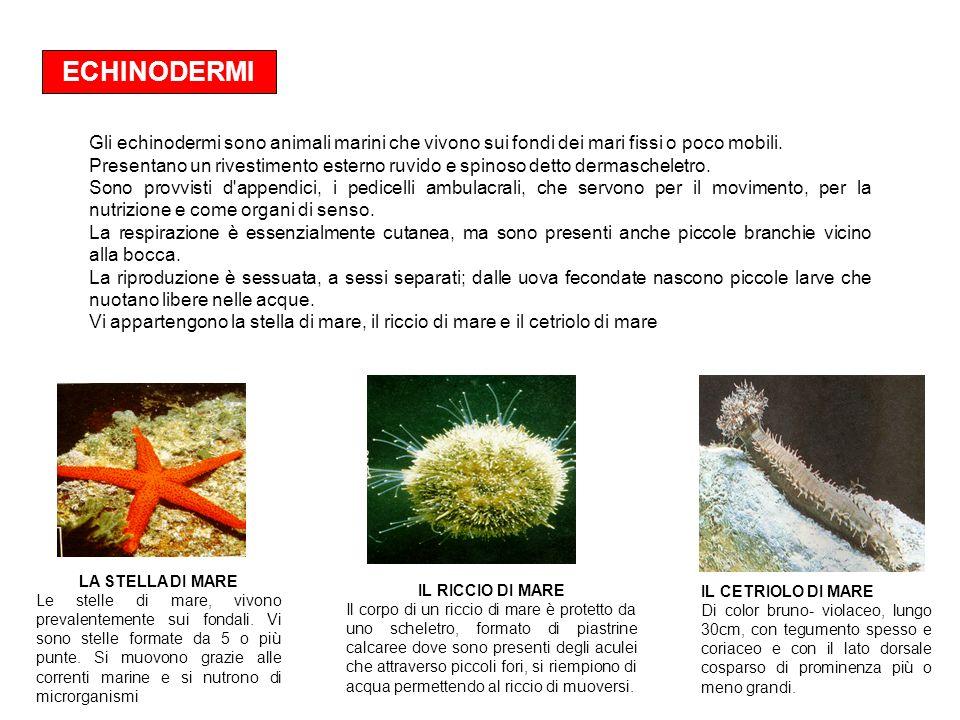 ECHINODERMI Gli echinodermi sono animali marini che vivono sui fondi dei mari fissi o poco mobili.