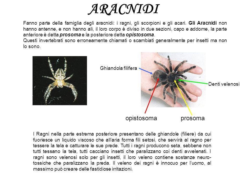 ARACNIDI opistosoma prosoma