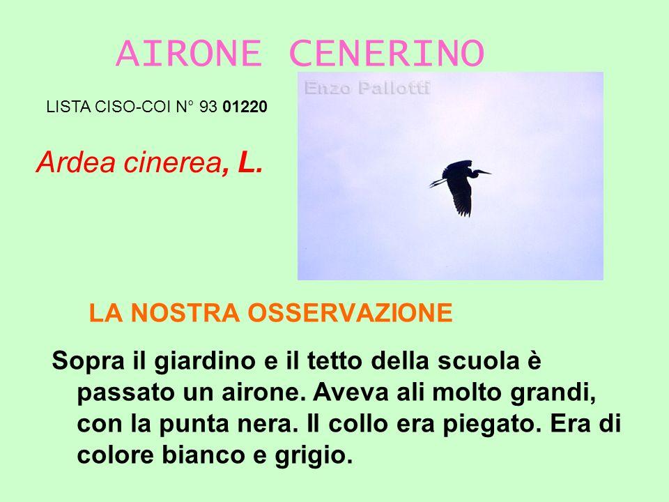 AIRONE CENERINO Ardea cinerea, L. LA NOSTRA OSSERVAZIONE