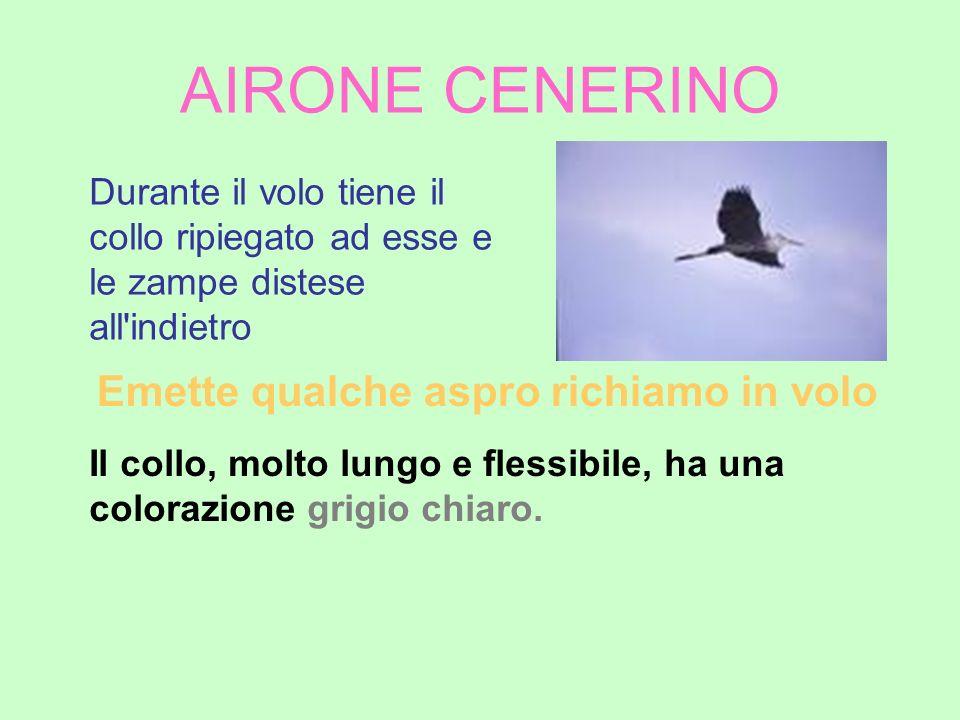 AIRONE CENERINO Emette qualche aspro richiamo in volo