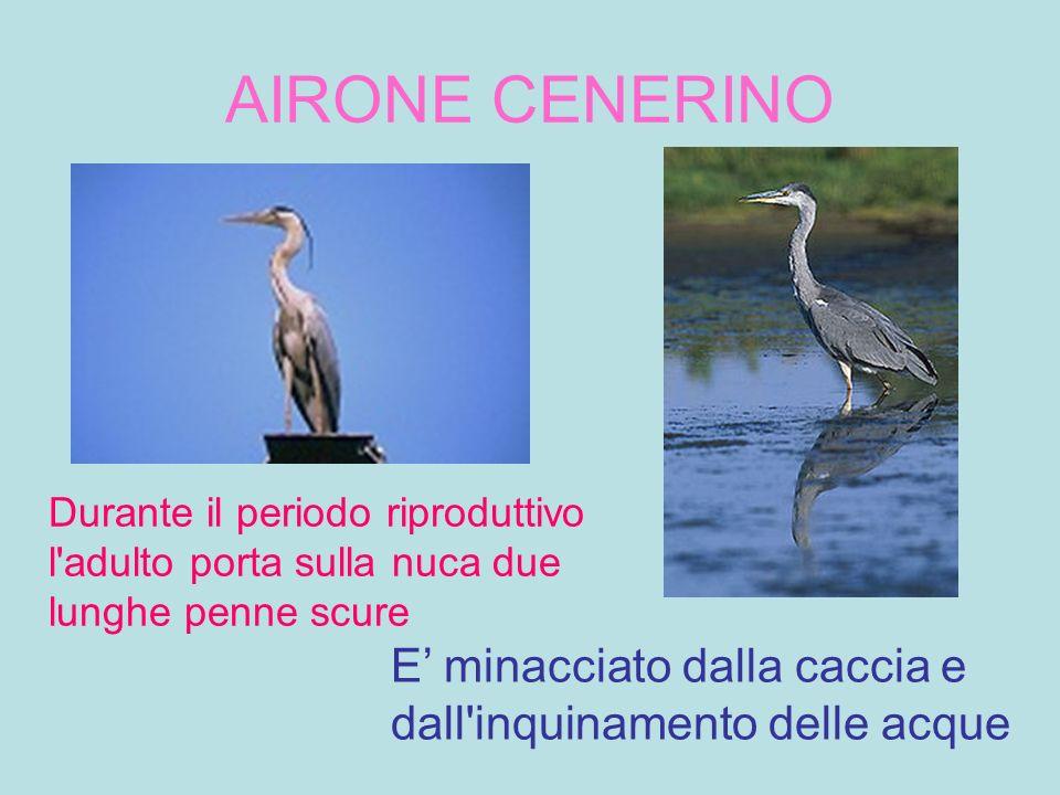 AIRONE CENERINO Durante il periodo riproduttivo l adulto porta sulla nuca due lunghe penne scure.