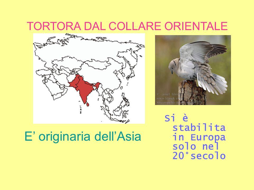 TORTORA DAL COLLARE ORIENTALE