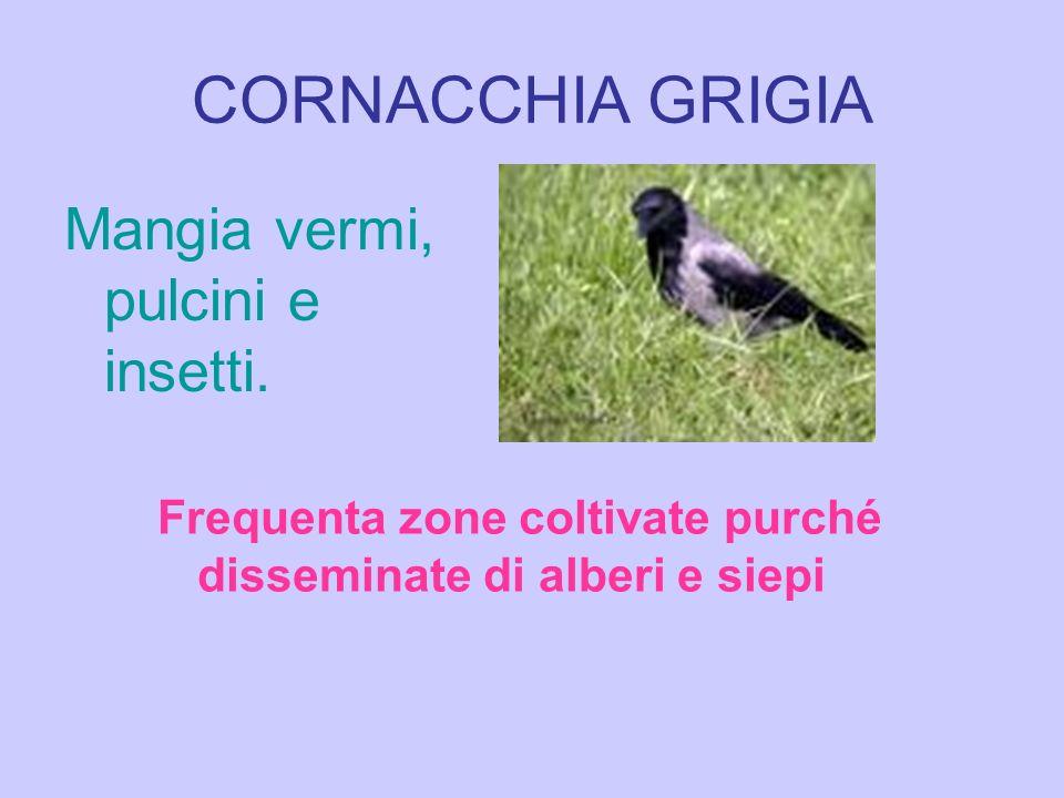 CORNACCHIA GRIGIA Mangia vermi, pulcini e insetti.