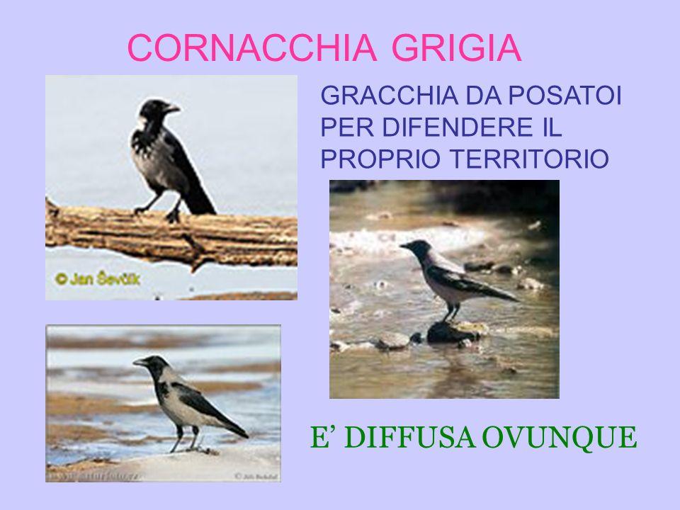 CORNACCHIA GRIGIA E' DIFFUSA OVUNQUE