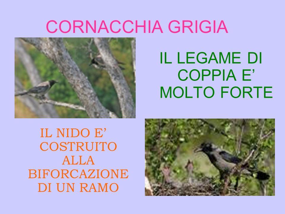 CORNACCHIA GRIGIA IL LEGAME DI COPPIA E' MOLTO FORTE
